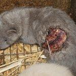Slovakia fur